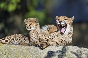 Фото Гепарды Детеныши 2 Оскал ©Tambako The Jaguar Животные