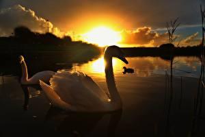 Фотографии Рассветы и закаты Лебеди Озеро Двое Животные