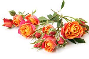 Обои Розы Крупным планом Белый фон Цветы фото