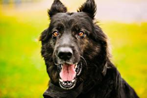Обои Собаки Немецкая овчарка Овчарка Морда Язык (анатомия) Зубы Черный Взгляд Животные фото