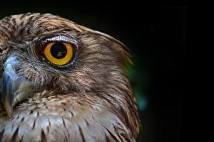 Обои Совообразные Глаза Крупным планом Птицы Клюв Черный фон Животные фото