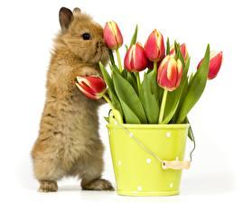 Картинка Тюльпаны Кролики Белом фоне Ведре Цветы Животные