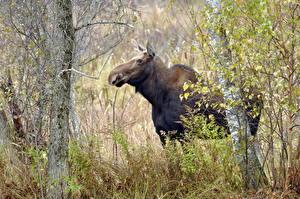 Фотографии Лоси Деревья Траве животное