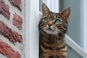Обои Кошки Взгляд Животные фото
