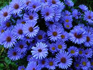 Обои Астры Крупным планом Голубой Цветы фото