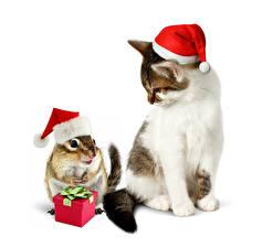 Картинки Новый год Коты Бурундуки Белый фон Шапки Подарки Животные