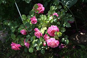 Обои Розы Розовый Листья Цветы фото
