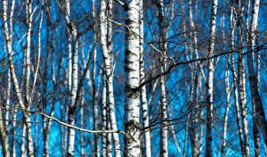Фотография Березы Ствол дерева Дерево
