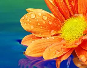 Фотографии Вблизи Гербера Воде Макро Оранжевые Капли Цветы