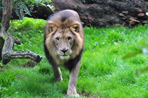 Обои Львы Трава Взгляд Животные фото