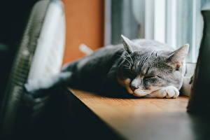 Обои Кошки Спит Серый Животные фото