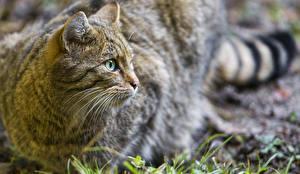 Обои Кошки Взгляд ©Tambako The Jaguar wild Животные фото