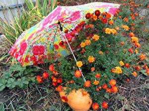 Картинка Бархатцы Тыква Зонт Цветы