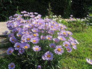 Фото Астры Вблизи Фиолетовых цветок