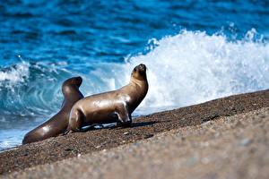 Картинки Берег Волны Морские котики Две животное