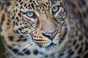 Обои Леопарды Взгляд Морда Усы Вибриссы Животные фото