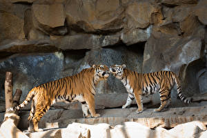 Обои Тигры Двое Amur Животные фото