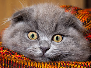 Фотография Кошки Глаза Морды Взгляд Серая животное