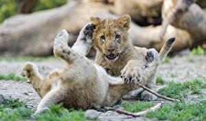 Картинки Львы Детеныши Вдвоем ©Tambako The Jaguar Животные