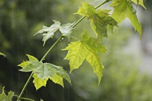 Картинка Дождь Клён Листва Зеленый