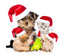 Картинка Новый год Собаки Попугаи Кролики Мыши Белый фон Йоркширский терьер Шапки Котята Животные