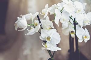Картинки Орхидея Белый Цветы