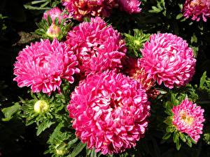 Фото Хризантемы Крупным планом Розовый Цветы