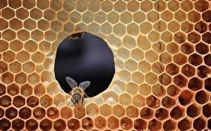 Фотография Пчелы Пчелиные соты животное