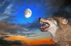 Фото Волки Небо Клыки Вечер Луна Зубы Животные