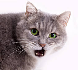 Обои Кошки Морда Взгляд Белый фон Зубы Животные фото