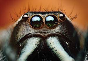 Обои Глаза Пауки Крупным планом Пауки-скакуны Макро Bagheera kiplingi Животные фото