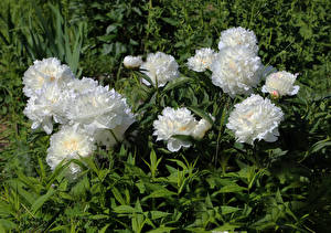 Обои Пионы Крупным планом Белый Цветы фото