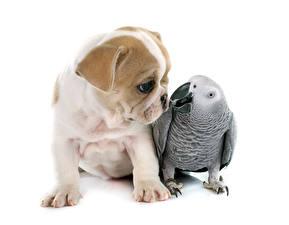 Фото Собаки Попугаи Белый фон Бульдога Щенки животное
