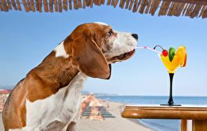 Обои Собака Коктейль Курорты Бокал Бигль Животные
