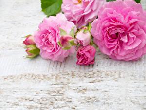 Обои Розы Розовый Бутон Цветы фото