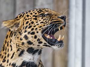 Обои Клыки Леопарды Оскал Зубы Усы Вибриссы Животные фото