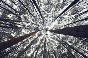 Обои Деревья Ствол дерева Вид снизу сосна Природа фото