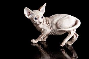 Картинка Кошки Сфинкс кошка Черный фон Отражается