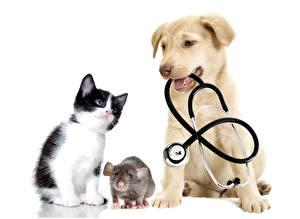 Фото Собаки Коты Крыса Белом фоне Ретривера Котят животное