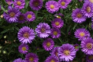 Фотографии Астры Крупным планом Фиолетовых Цветы