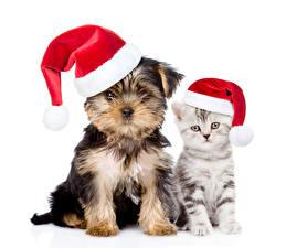 Фотографии Рождество Коты Собаки Белый фон Котята Щенков Йоркширский терьер Шапки Животные
