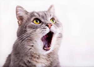 Обои Кошки Белый фон Морда Взгляд Зубы Животные фото