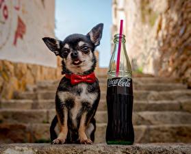 Фото Собака Напитки Coca-Cola Чихуахуа Бутылки Бант Лестницы Галстук-бабочка Животные