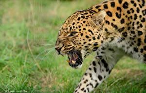 Обои Клыки Леопарды Оскал Усы Вибриссы Amur Животные фото