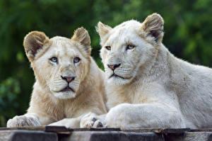 Фотографии Львы Детеныши Белый ©Tambako The Jaguar Животные