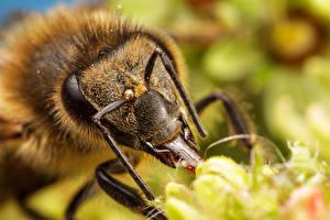 Обои Пчелы Крупным планом Макро Животные