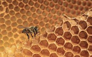 Фотография Пчелиные соты Пчелы животное