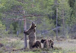 Обои Медведи Бурые Медведи Детеныши Животные фото