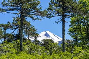 Фотография Чили Парки Горы Деревьев Conguillio National Park Природа