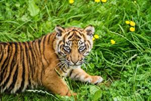 Обои Тигры Детеныши Трава Взгляд Sumatran Животные фото